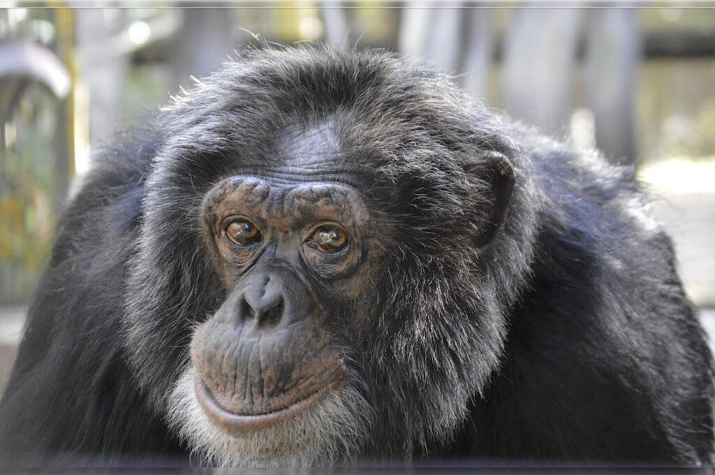 Gorilas presentan síntomas de tos y congestión nasal en un zoológico de Atlanta. Dan positivo a covid-19